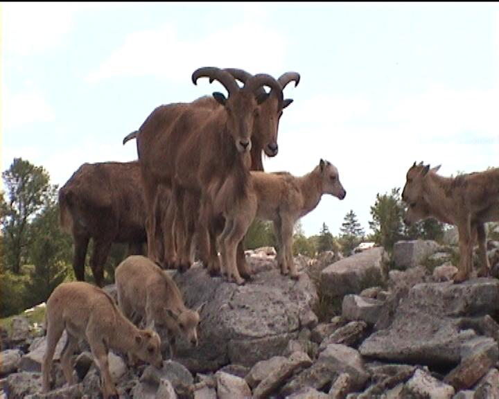 mountain goats at the'African Lion Safari' in Canada